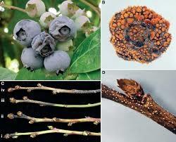 Colletotricum la prun