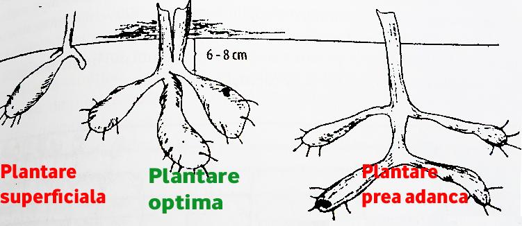 Plantare bulbi de dalie