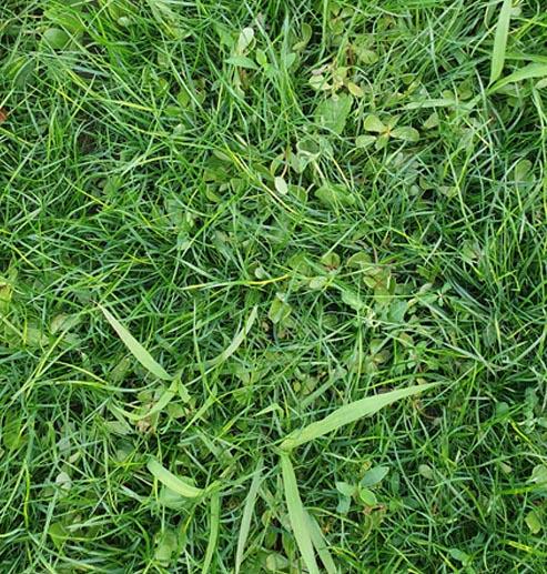Efectul erbicidelor asupra buruienilor cu frunza ingusta