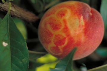 Plum Plox Virus manifestat pe fructul de piersica