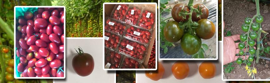 tomate de la seminteplante