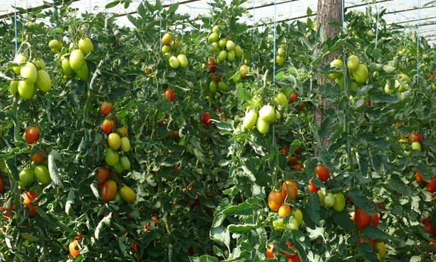 tomate prunisoara Kilates F1
