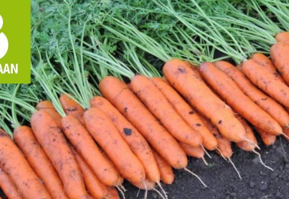 Hibrizi profesionali de morcovi din gama Rijk Zwaan