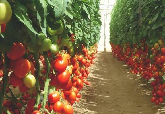 Magnus vs. Corvinus: Comparatie intre doi hibrizi de tomate extra-timpurii