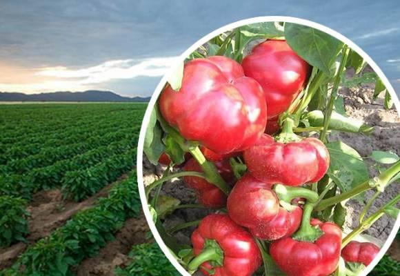 Tehnologie de cultivare pentru ardeii gogosari Bucur