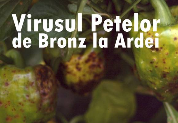 Virusul Petelor de Bronz la Ardei