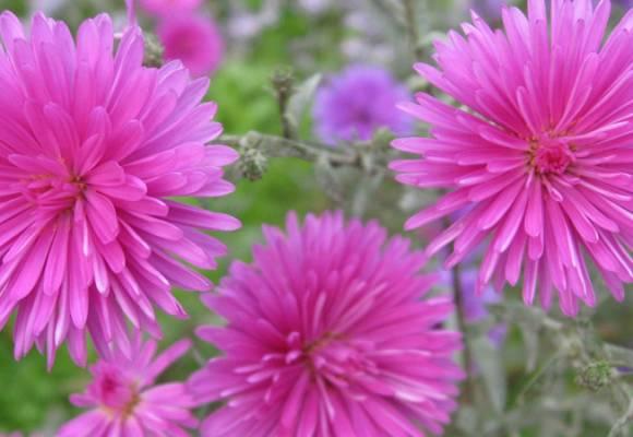 Cresterea florilor de Ochiul Boului in gradina