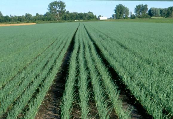 Cultivarea cepei. Tehnologia de cultura la ceapa si ceapa verde