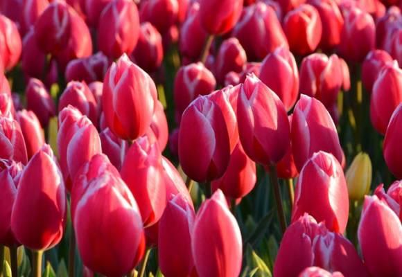 Sfaturi privind plantarea bulbilor de toamna